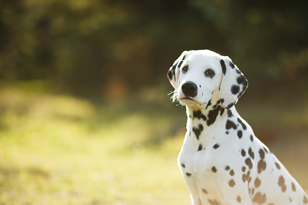 cute puppy Dalmatian for a walk in the Park portrait